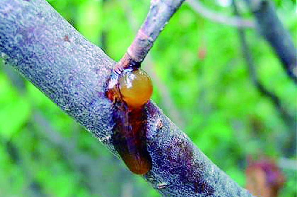 桃树流胶和黄叶
